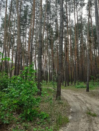 большой участок в сосновом лесу.